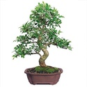 20 Year Ficus Bonsai Tree