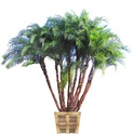Senegal Date Palm Tree (Wild Date Palm): Large