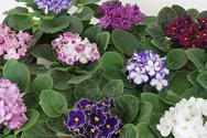Optimara African Violet Variety Pack